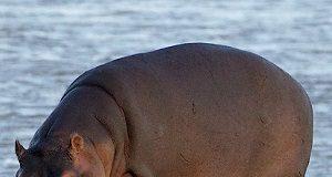 Hipopótamo na grama