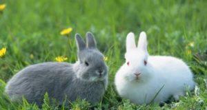 Dois coelhos na grama