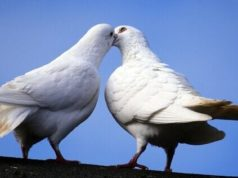 Pombos brancos
