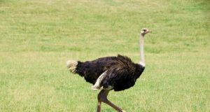 Avestruz andando na grama